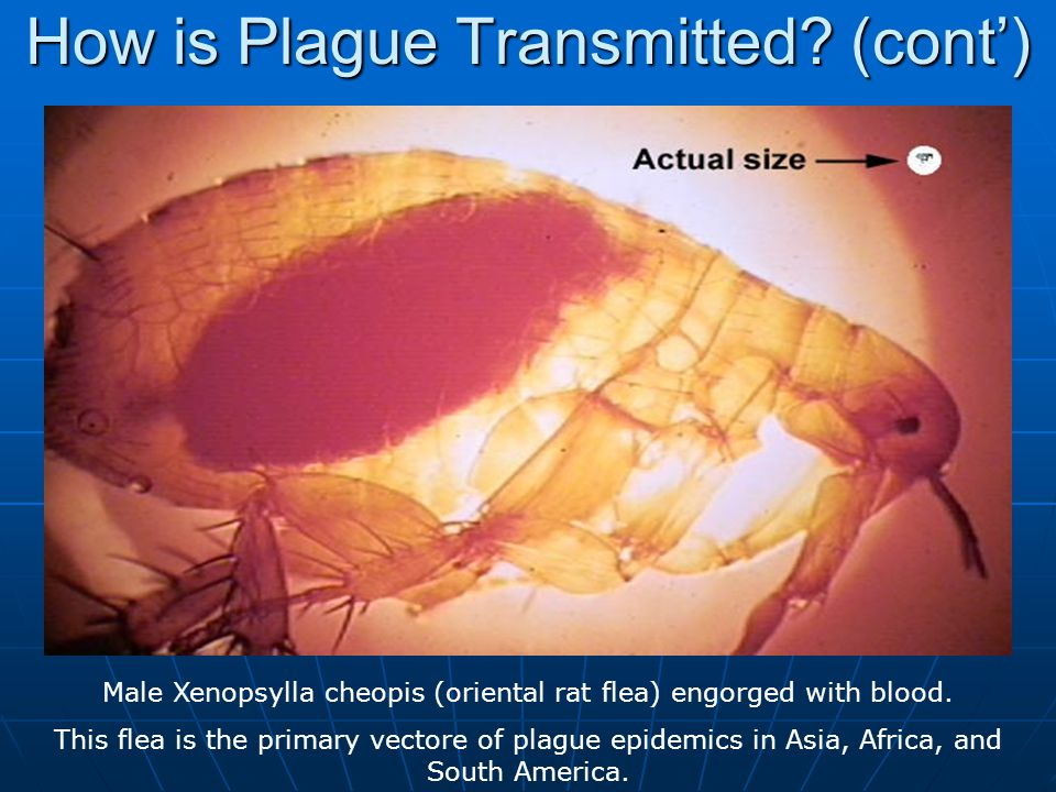 How is Plague Transmitted (cont')