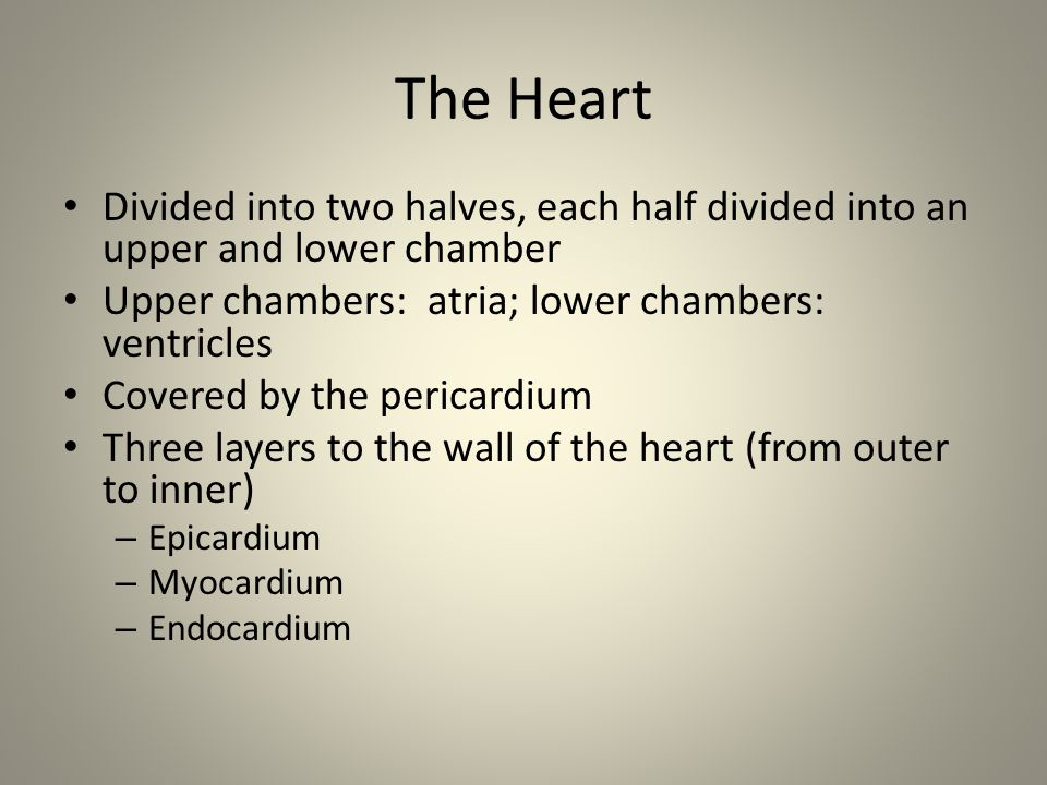 The Heart Divided into two halves, each half divided into an upper and lower chamber. Upper chambers: atria; lower chambers: ventricles.