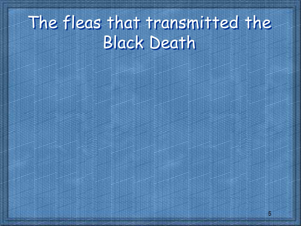 The fleas that transmitted the Black Death