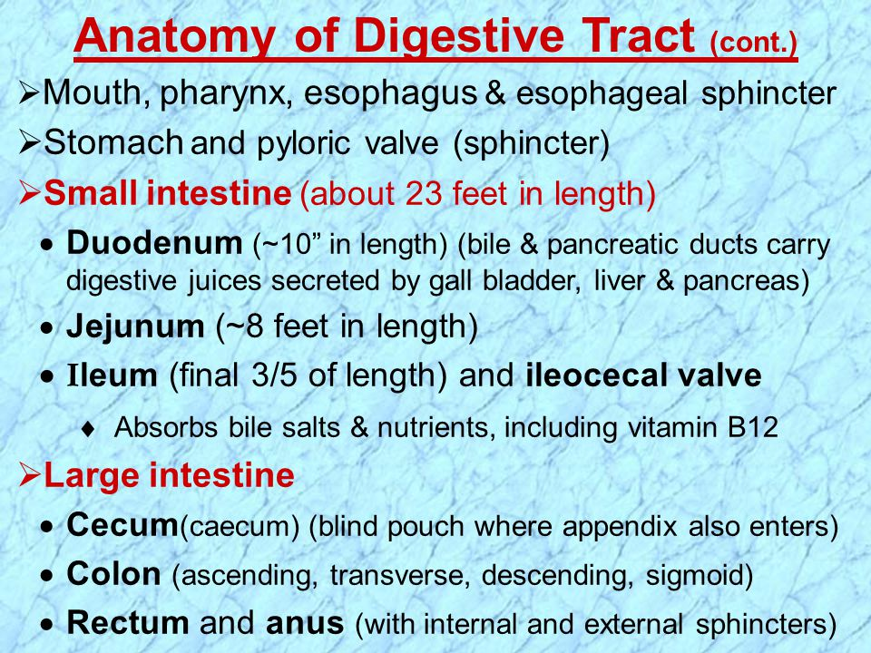Anatomy of Digestive Tract (cont.)