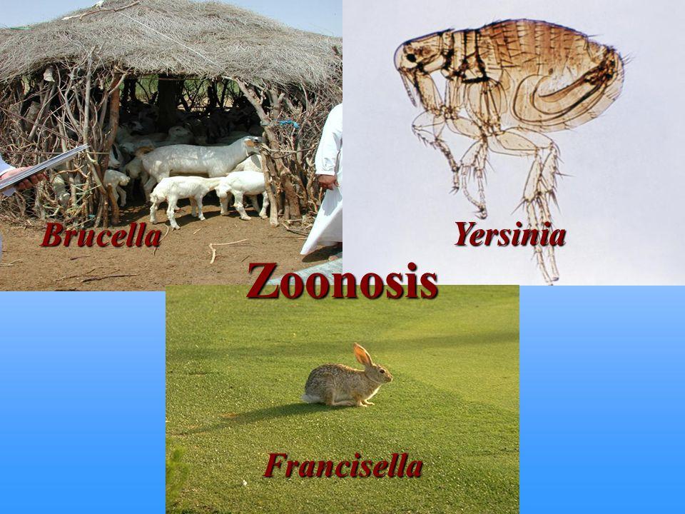 Yersinia Brucella Zoonosis Francisella