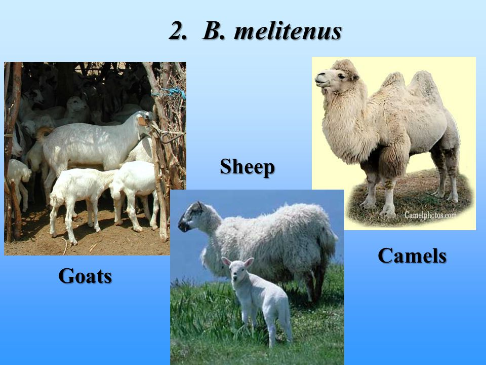 2. B. melitenus Sheep Camels Goats