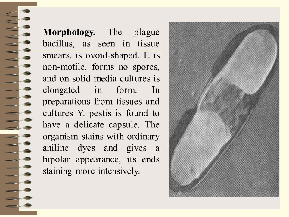 Morphology. The plague bacillus, as seen in tissue smears, is ovoid-shaped.