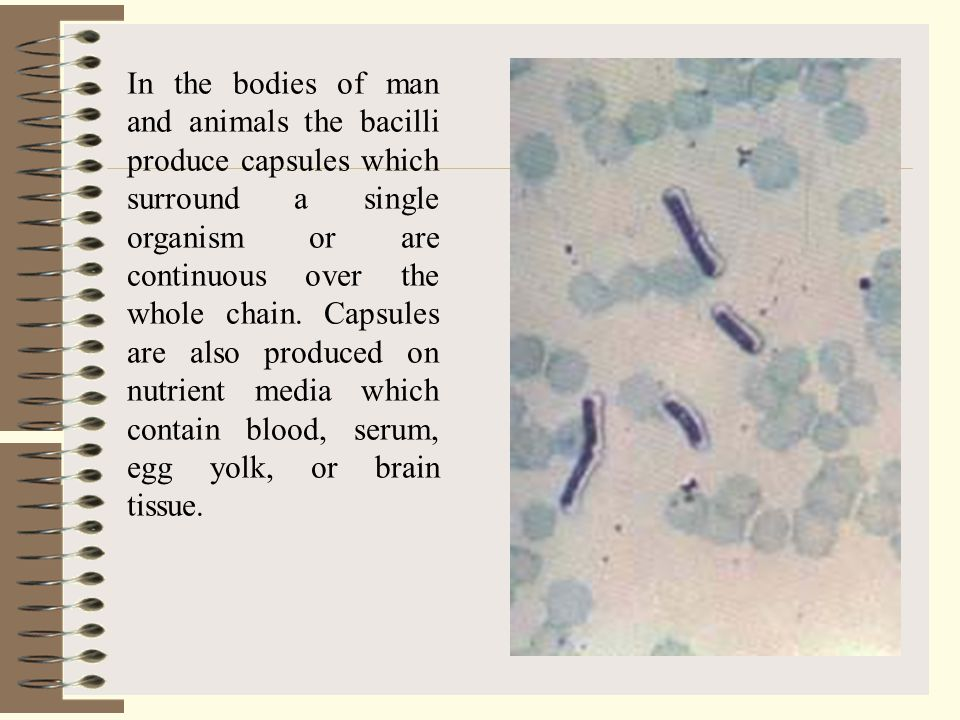 In the bodies of man and animals the bacilli produce capsules which surround a single organism or are continuous over the whole chain.