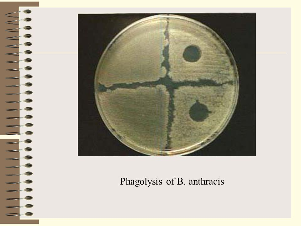 Phagolysis of B. anthracis