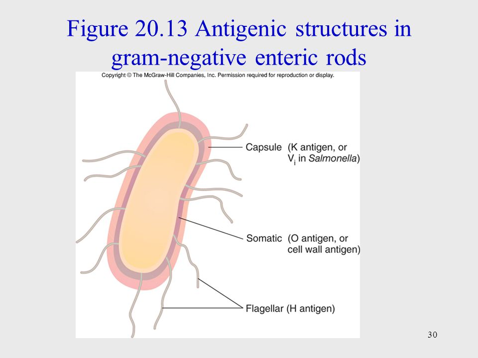 Figure 20.13 Antigenic structures in gram-negative enteric rods