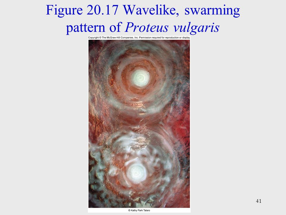 Figure 20.17 Wavelike, swarming pattern of Proteus vulgaris