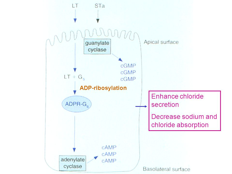 Enhance chloride secretion Decrease sodium and chloride absorption
