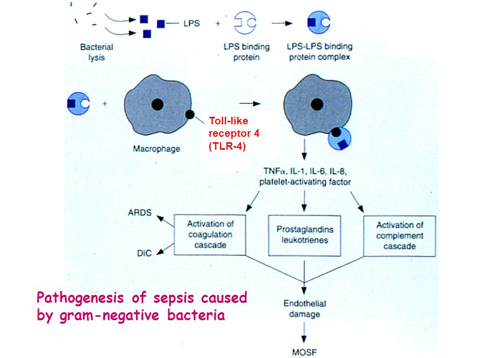 Pathogenesis of sepsis caused by gram-negative bacteria