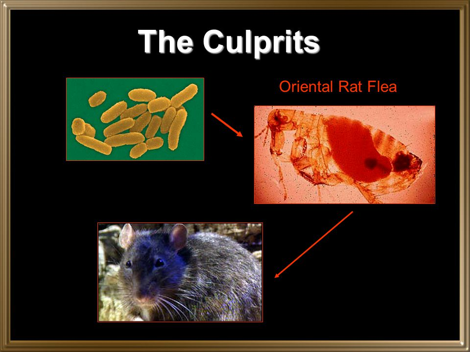 The Culprits Oriental Rat Flea