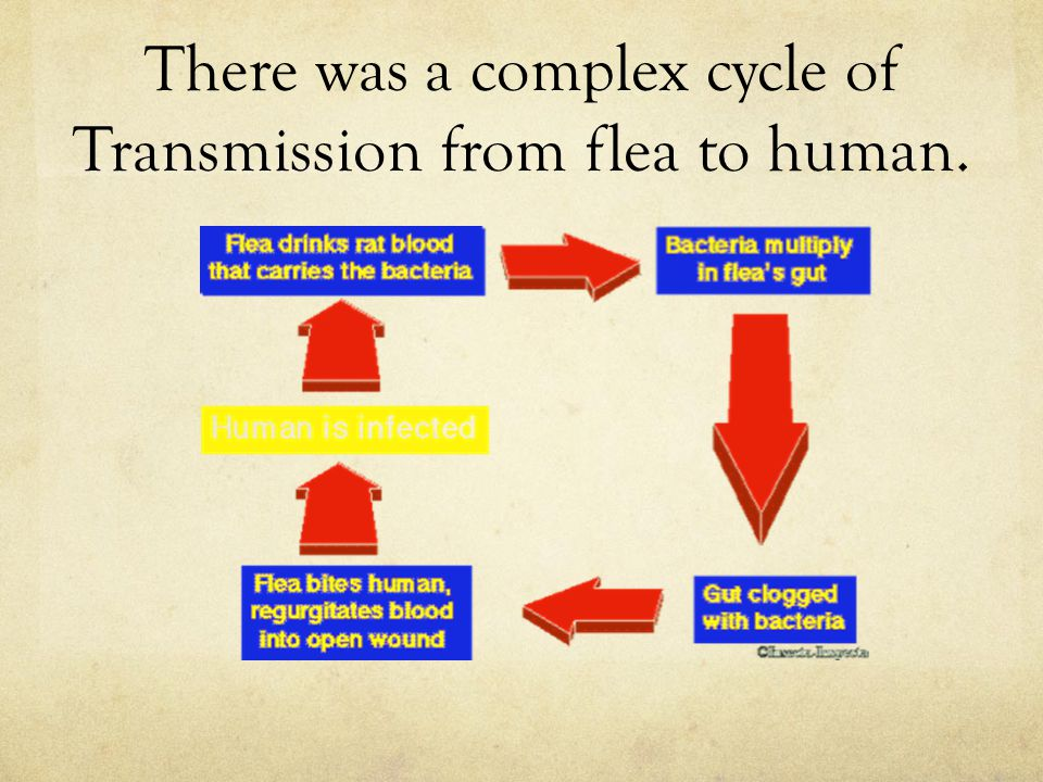 There was a complex cycle of Transmission from flea to human.
