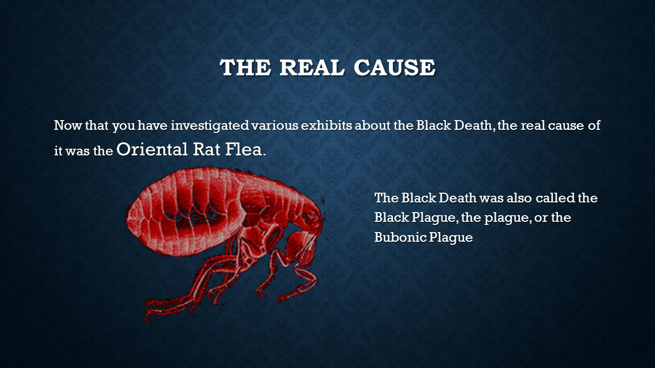 The Real Cause Now that you have investigated various exhibits about the Black Death, the real cause of it was the Oriental Rat Flea.