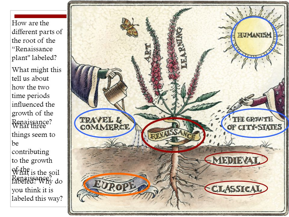 How are the different parts of the root of the Renaissance plant labeled