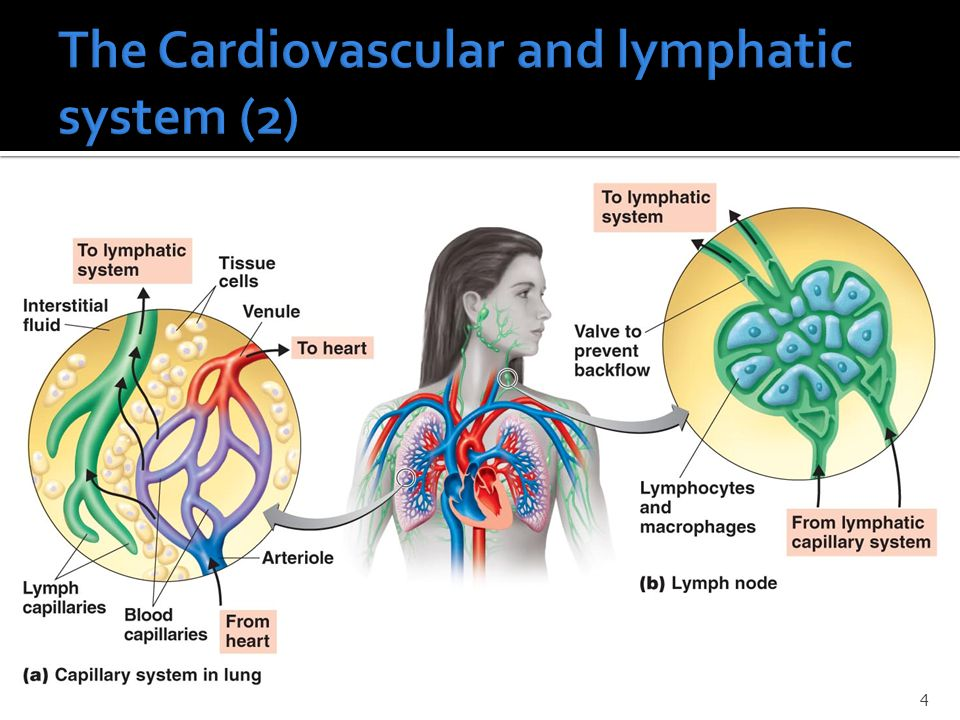 The Cardiovascular and lymphatic system (2)