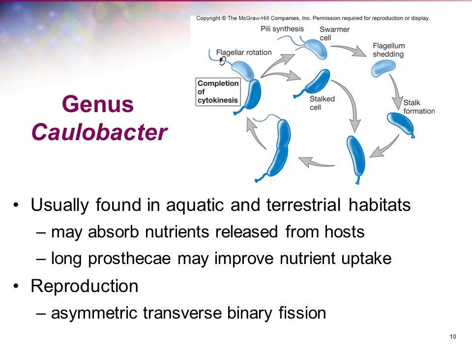 Genus Caulobacter Usually found in aquatic and terrestrial habitats