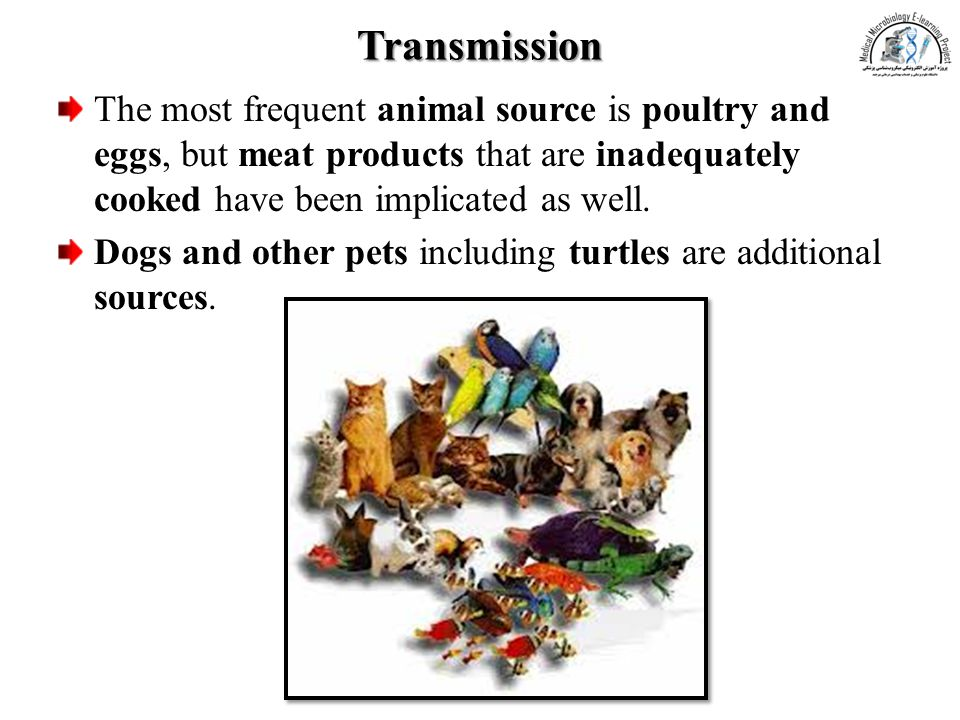 Transmission The most frequent animal source is poultry and eggs, but meat products that are inadequately cooked have been implicated as well.