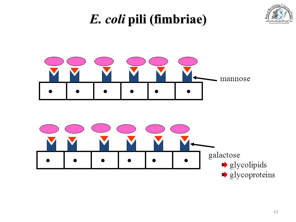 E. coli pili (fimbriae) mannose galactose glycolipids glycoproteins