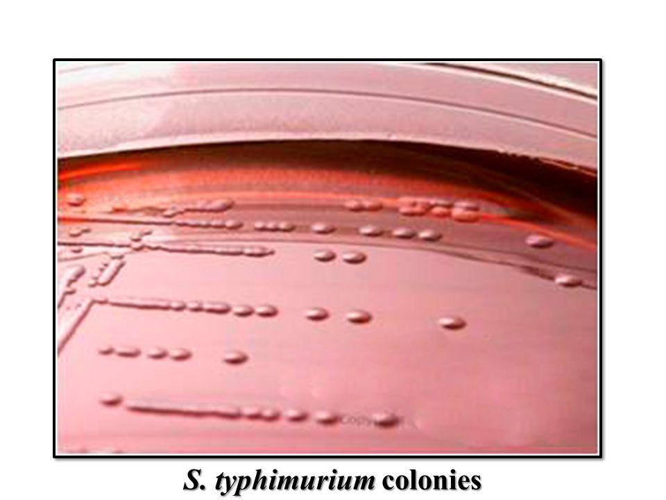 S. typhimurium colonies