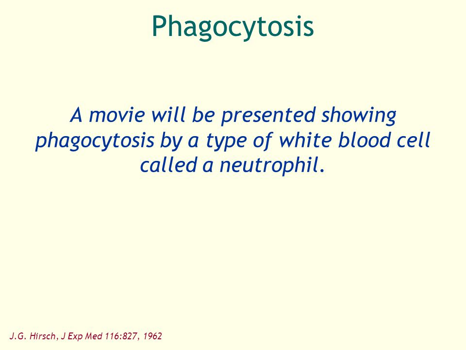Phagocytosis A movie will be presented showing phagocytosis by a type of white blood cell called a neutrophil.