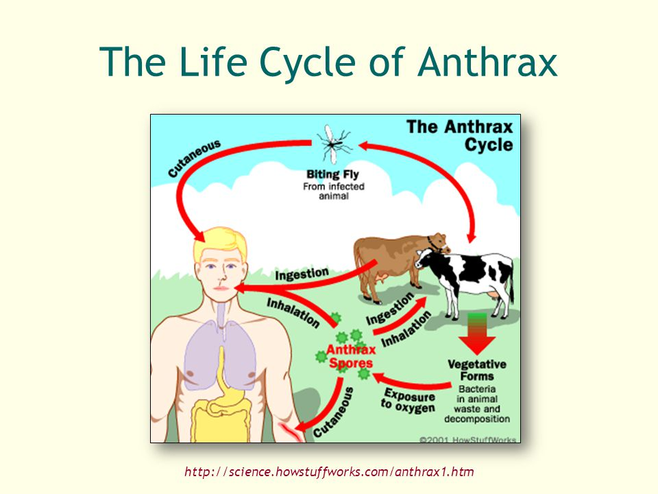 The Life Cycle of Anthrax