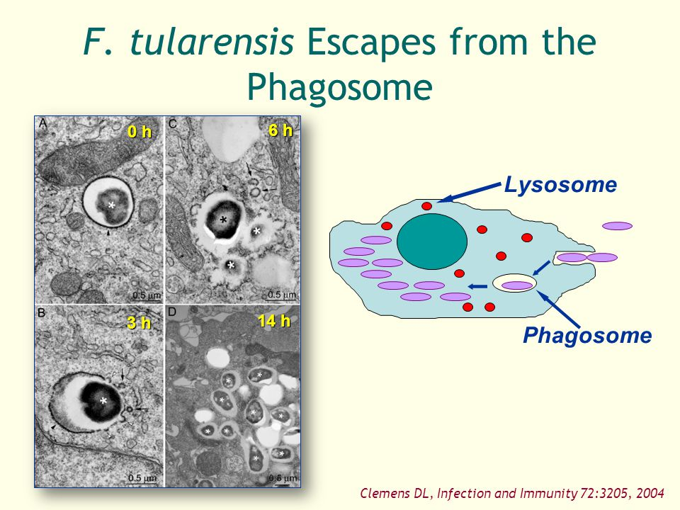 F. tularensis Escapes from the Phagosome
