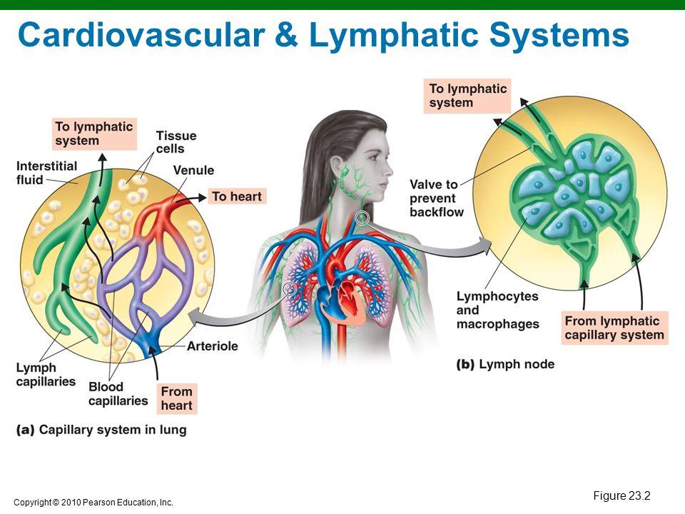 Cardiovascular & Lymphatic Systems