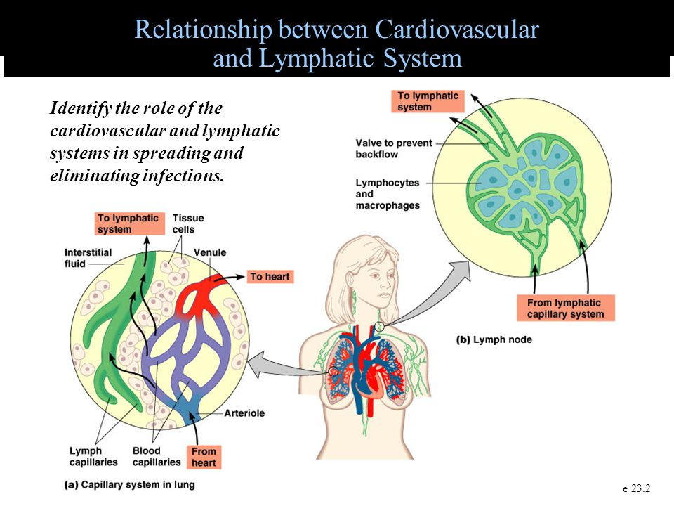 relationship between cardiovascular system and urinary