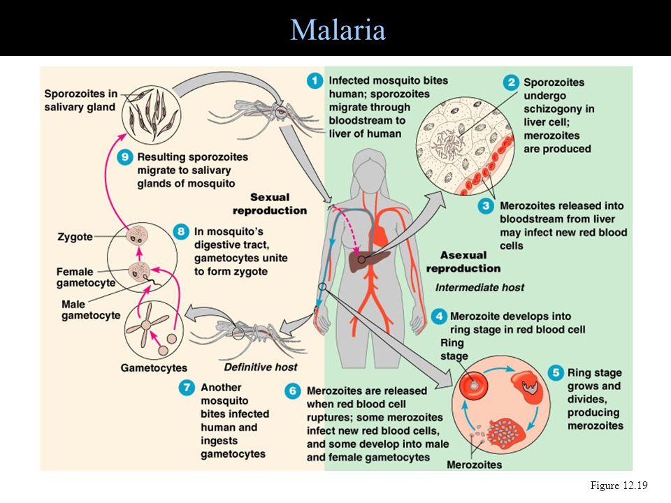 Malaria Figure 12.19