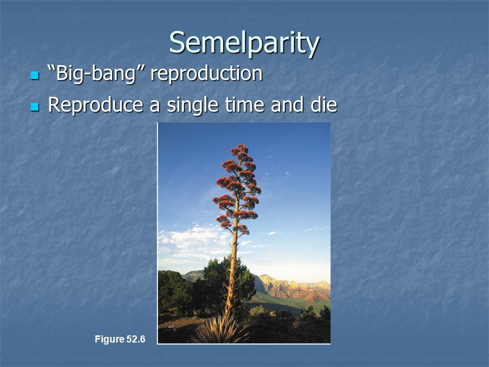 Semelparity Big-bang reproduction Reproduce a single time and die