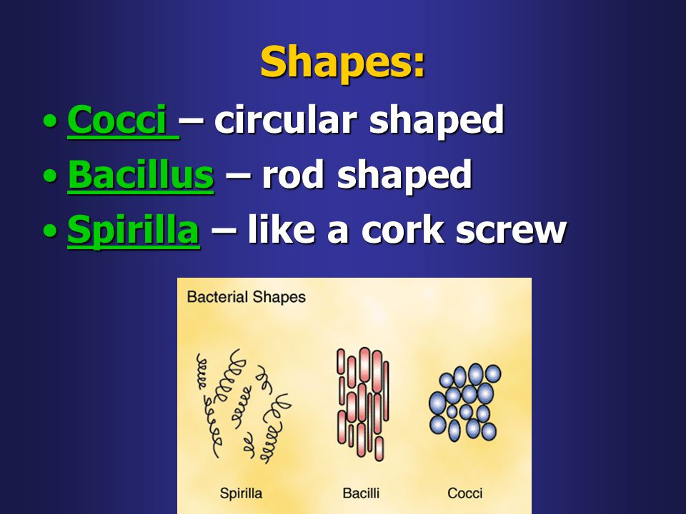 Shapes: Cocci – circular shaped Bacillus – rod shaped