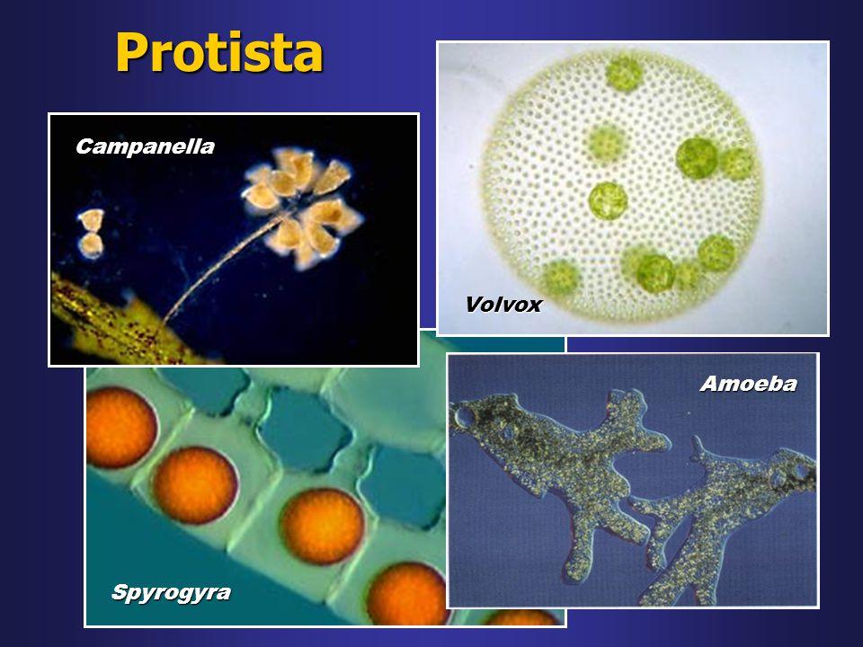 Protista Volvox Campanella Spyrogyra Amoeba