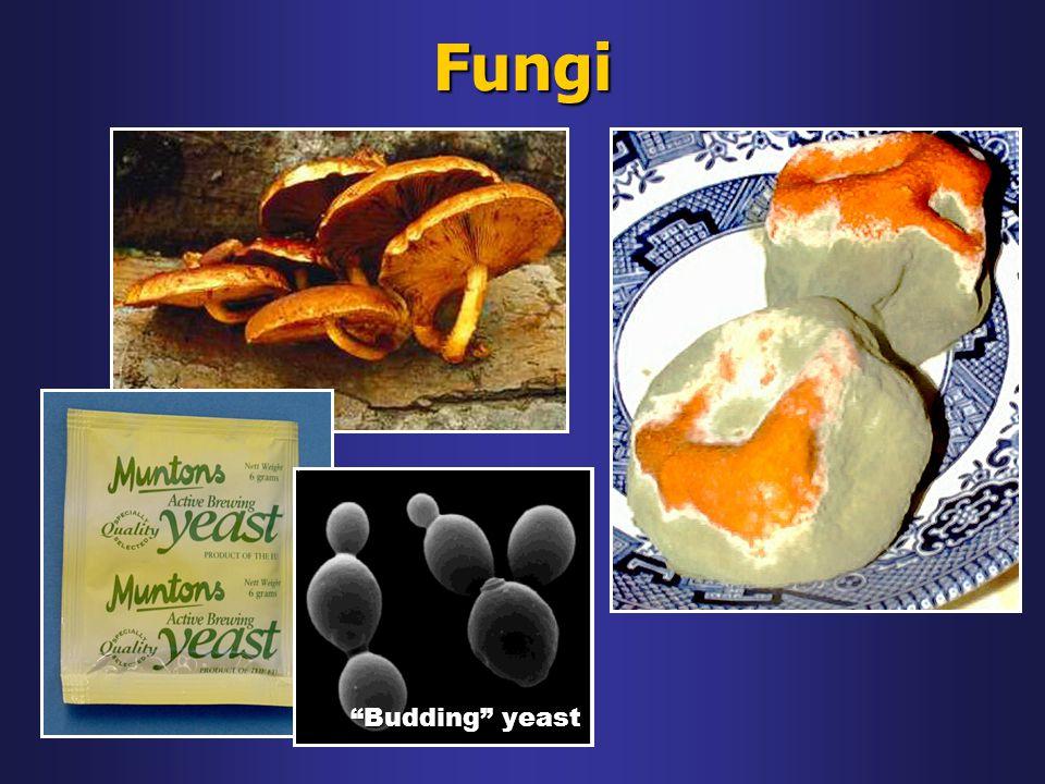 Fungi Budding yeast