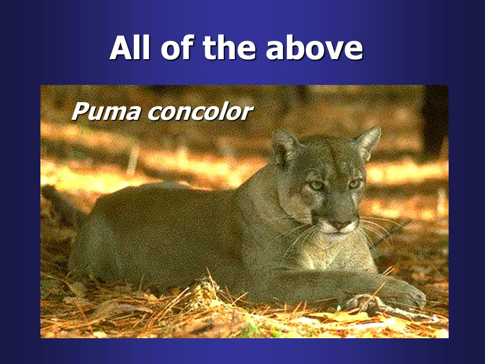 All of the above Puma concolor