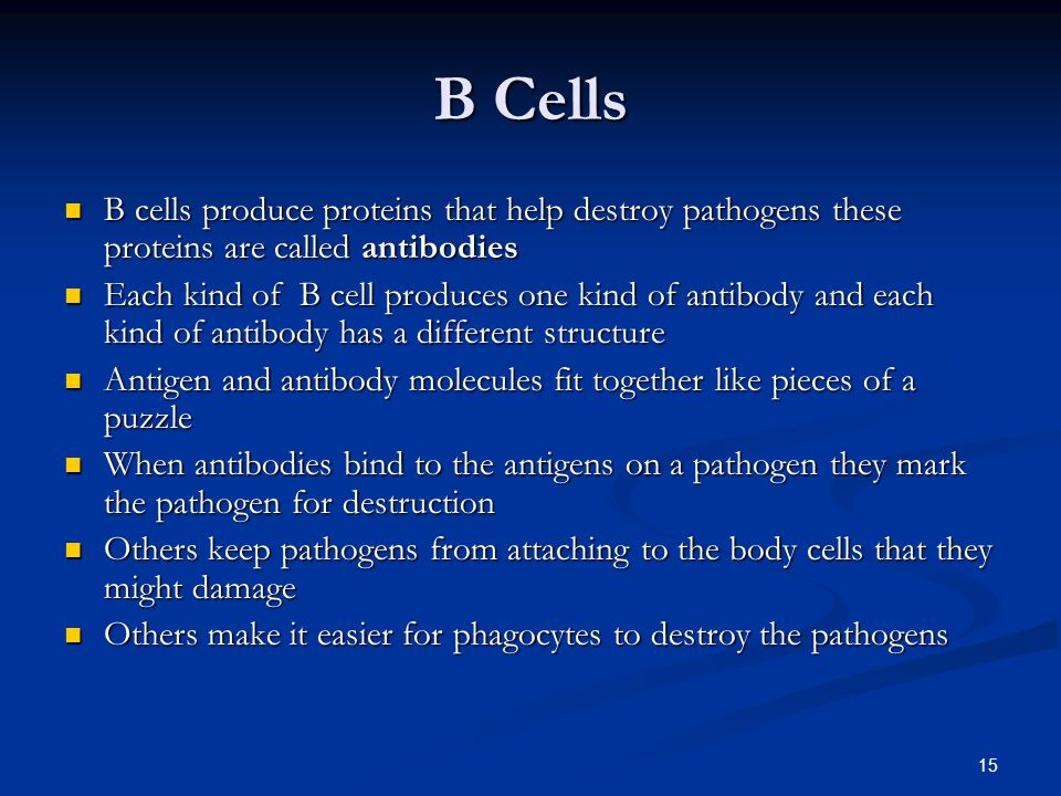B Cells B cells produce proteins that help destroy pathogens these proteins are called antibodies.