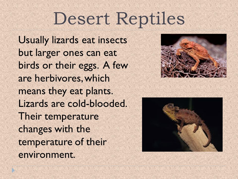 Desert Reptiles Usually lizards eat insects but larger ones can eat birds or their eggs. A few are herbivores, which means they eat plants.