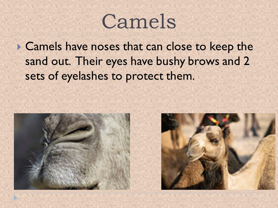 Camels Camels have noses that can close to keep the sand out.
