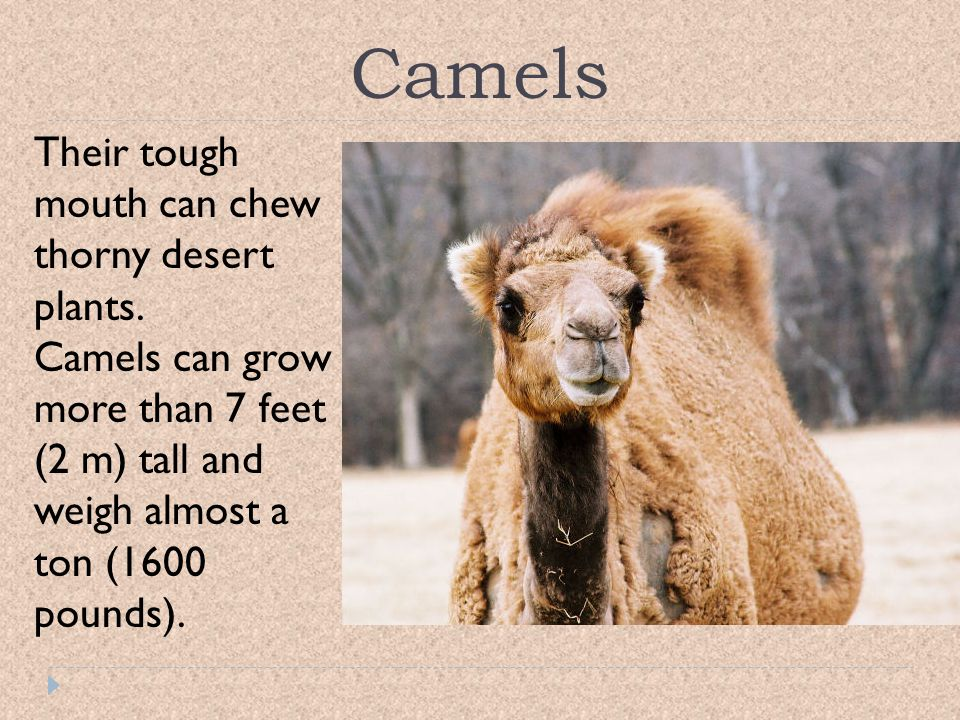 Camels Their tough mouth can chew thorny desert plants.