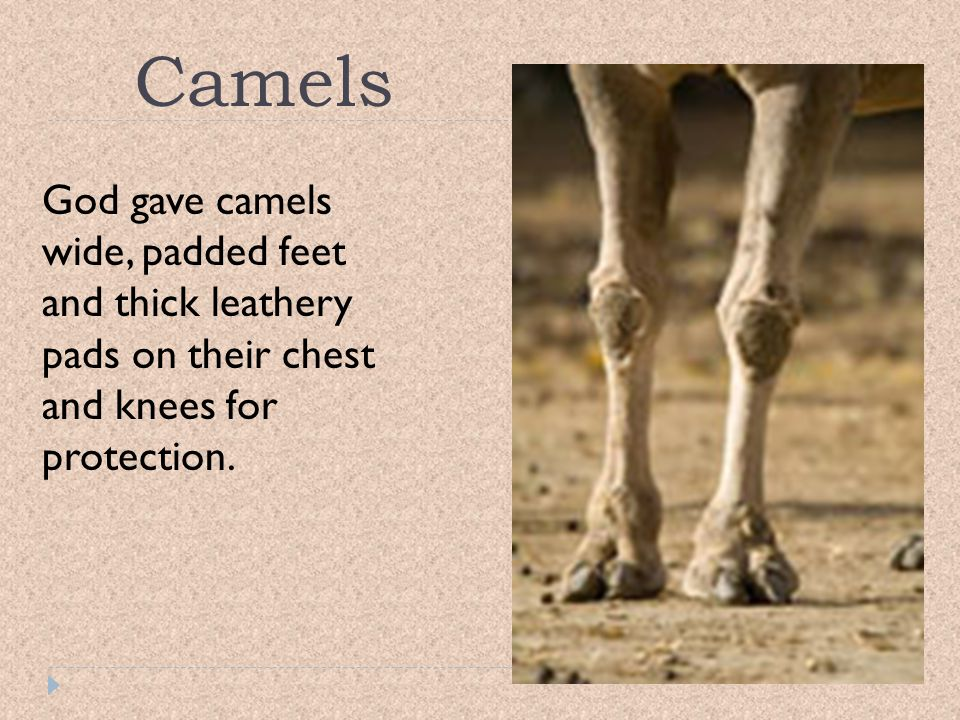 Camels God gave camels wide, padded feet and thick leathery pads on their chest and knees for protection.