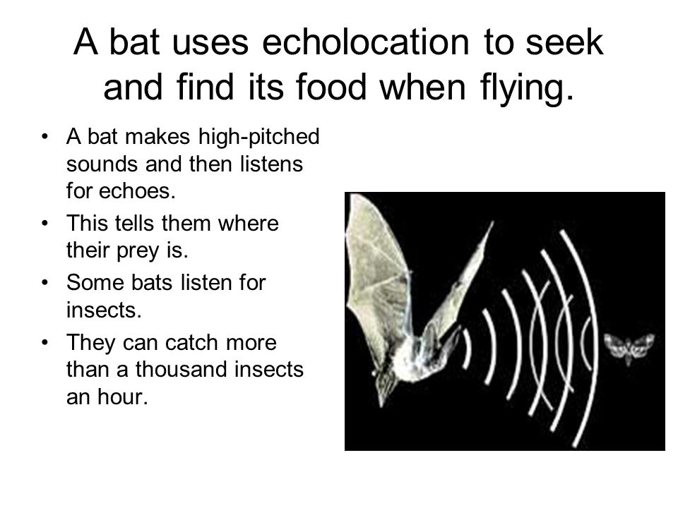 A bat uses echolocation to seek and find its food when flying.