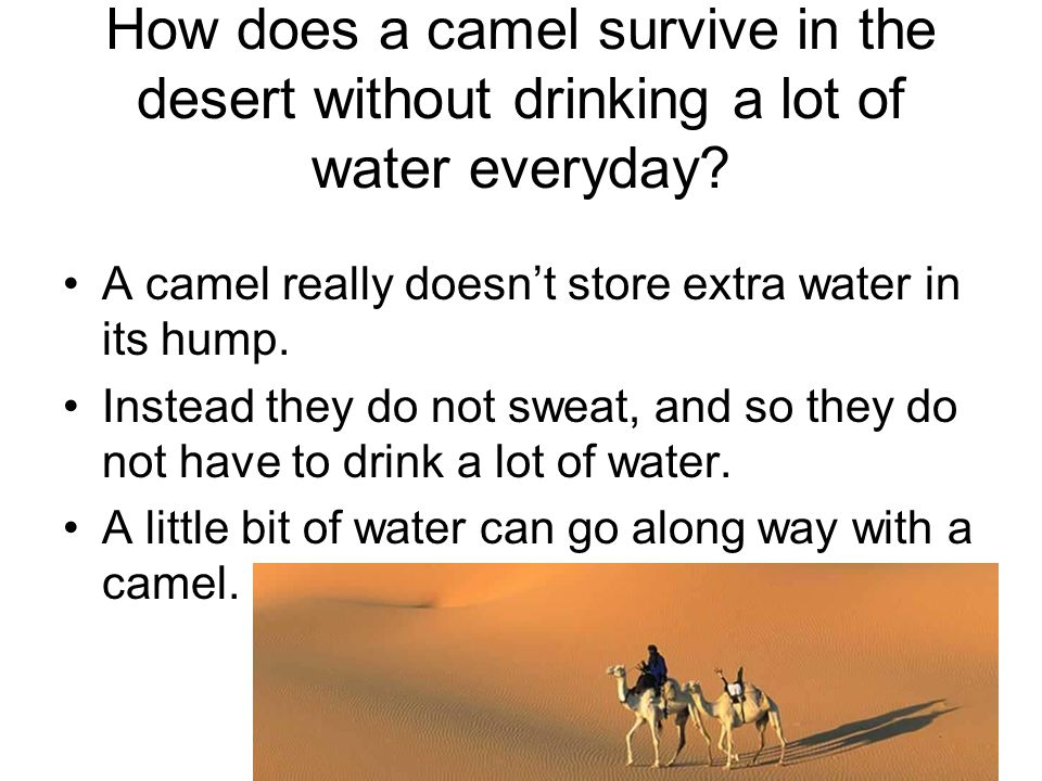 How does a camel survive in the desert without drinking a lot of water everyday