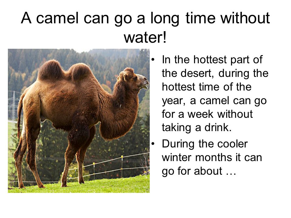 A camel can go a long time without water!