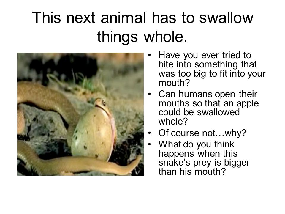 This next animal has to swallow things whole.