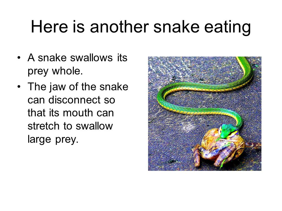 Here is another snake eating