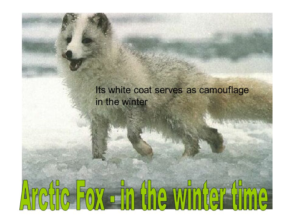 Arctic Fox - in the winter time