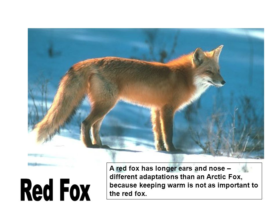 A red fox has longer ears and nose – different adaptations than an Arctic Fox, because keeping warm is not as important to the red fox.