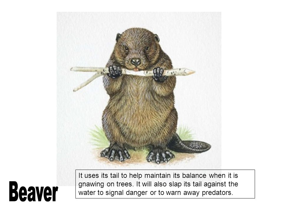 It uses its tail to help maintain its balance when it is gnawing on trees. It will also slap its tail against the water to signal danger or to warn away predators.