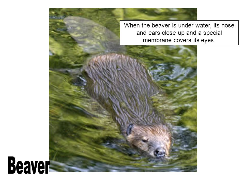 When the beaver is under water, its nose and ears close up and a special membrane covers its eyes.