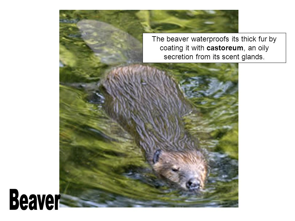 The beaver waterproofs its thick fur by coating it with castoreum, an oily secretion from its scent glands.