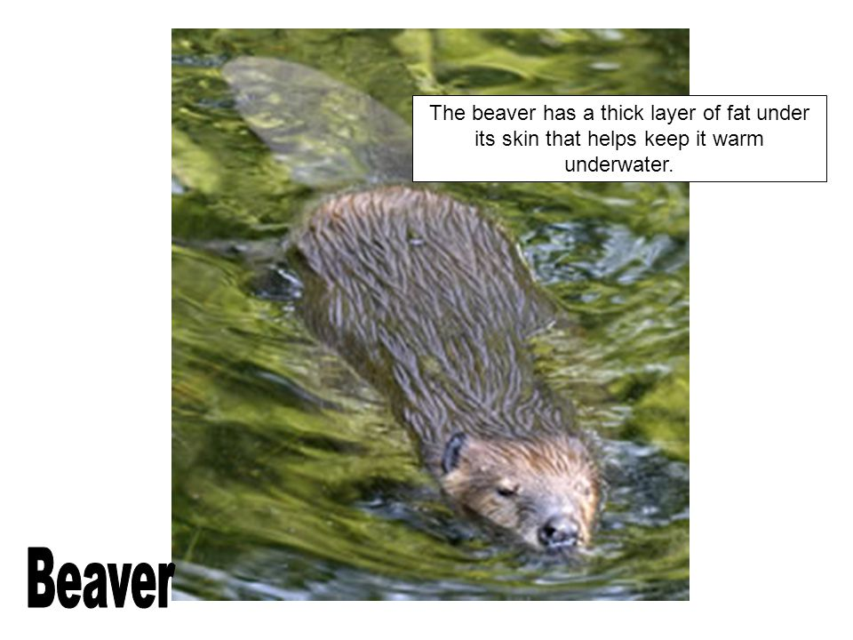The beaver has a thick layer of fat under its skin that helps keep it warm underwater.