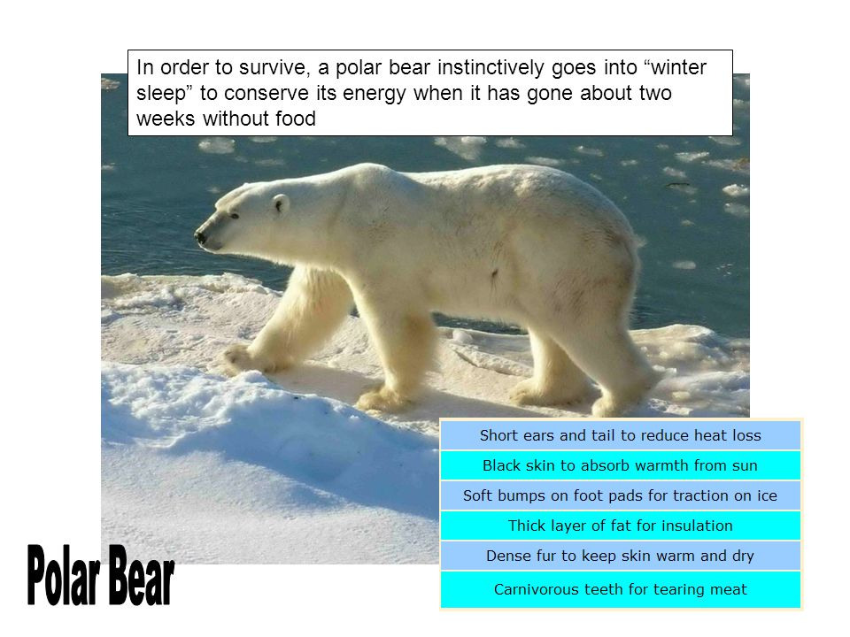 In order to survive, a polar bear instinctively goes into winter sleep to conserve its energy when it has gone about two weeks without food